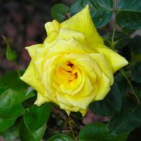 Printable Yellow Rose - Printable Nature Pictures - Free Printable Pictures