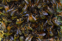 Bees and Pollen Photograph