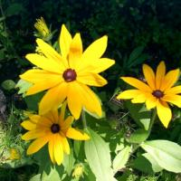 Black Eyed Susan Wildflowers