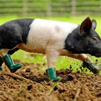 Piglet in Boots