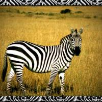 graphic about Printable Zebra Pictures known as Zebra